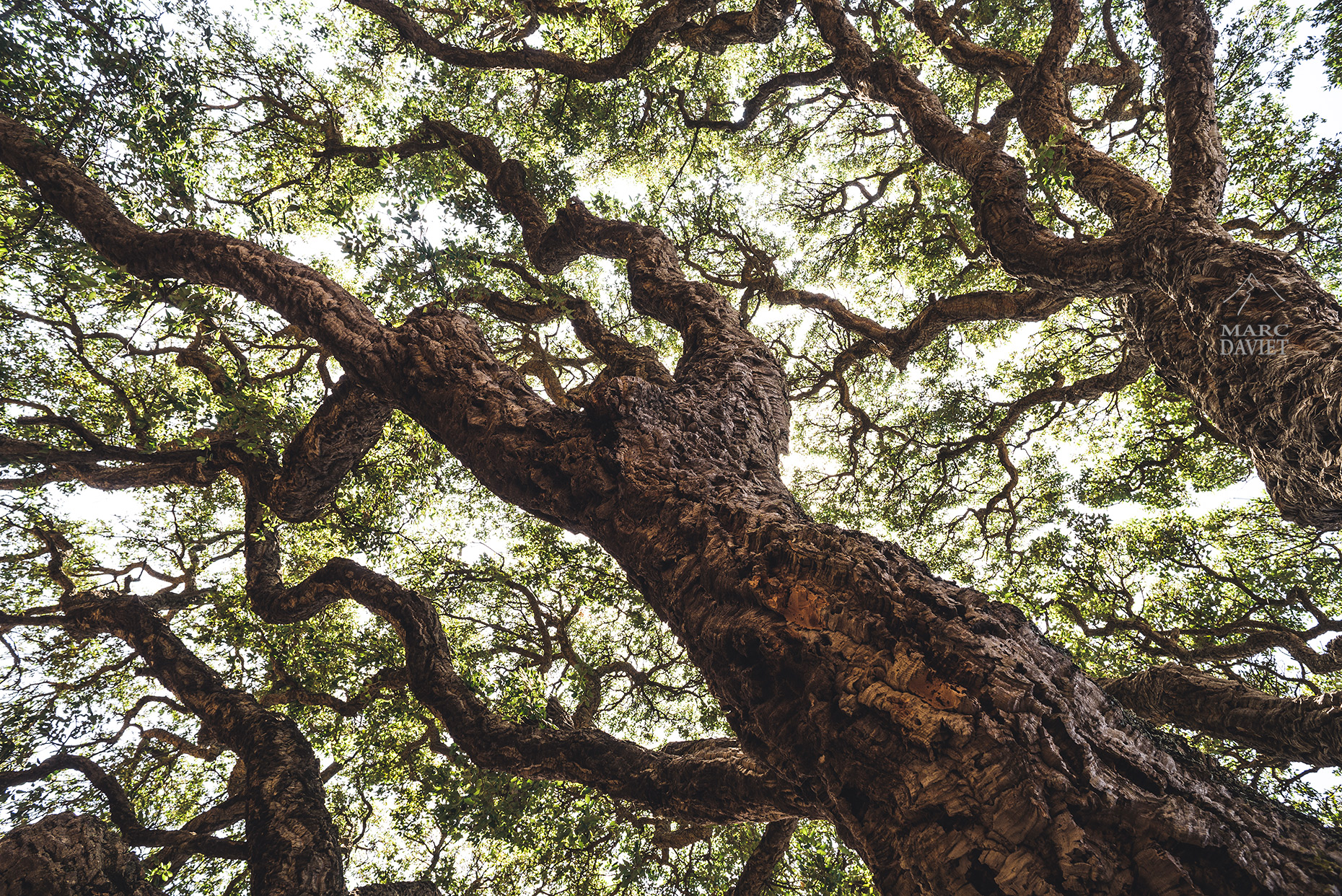 Cork oak - Marc Daviet Photography